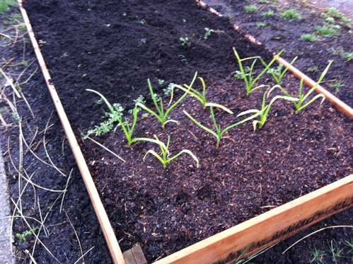 garlicsprouts